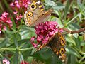 Meadow Argus flowers.JPG