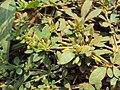 Mecardonia procumbens 04a.JPG
