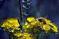 Medicinal plants in khafr-Isfahan-Iran گل ها و گیاهان دارویی در روستای خفر پادنا از توابع استان اصفهان 18.jpg