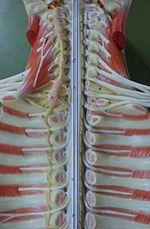 Médula espinal - Wikipedia, la enciclopedia libre