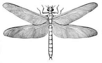 Meganisoptera - Illustration of a Meganeura species