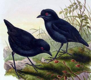 Melampitta genus of birds