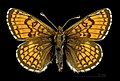 Melitaea varia MHNT CUT 2013 3 29 Cervières male dorsal.jpg