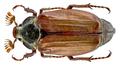 Melolontha melolontha (Linné, 1758) male (14057750961).png