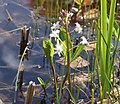 Menyanthes trifoliata-1.jpg