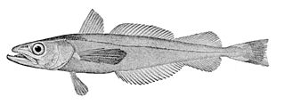 North Pacific hake species of fish
