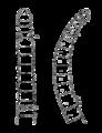 Mesenchytraeus solifugus anterior.png