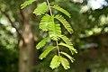 Metasequoia glyptostroboides 04.jpg