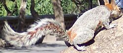 Mexicanredbelliedsquirrel3.jpg