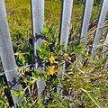 Miami Beach - Sand Dunes Flora - Plant with Yellow Flowers Growing Through Wooden Fence.jpg
