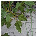 Miami Beach - South Beach Sand Dune Flora - Helianthus debilis Dune Sunflower (30).jpg