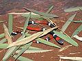 Micrurus pyrrhocryptus.JPG