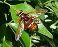 Milesia crabroniformis. Syrphidae - Flickr - gailhampshire (4).jpg