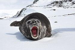 sjöelefanten