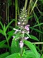 Moerasandoorn (Stachys palustris) ,Almere, Netherlands - panoramio.jpg