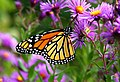 Monarch butterfly - Butterfly Place in Westford, Massachusetts - (2).jpg