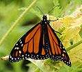 Monarch butterfly filtered.jpg