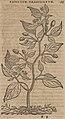 Monardes - 1574 - De simplicibus medicamentis - UB Radboud Uni Nijmegen - 208278206 73 capsicum brasilianum.jpg