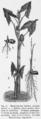 Montrichardia linifera plant Engler.png