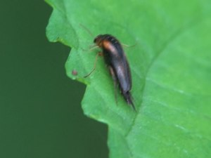 File:Mordellistena humeralis - 2013-08-04.webm