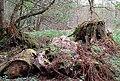 Morendy Wood stump - geograph.org.uk - 407068.jpg