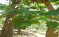 Morinda citrifolia 1.jpg