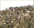 Mt Baldy, Trees 2-16-13b (8536508015).jpg