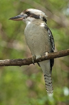 Mt Gravatt Outlook kookaburra (7126583323).jpg