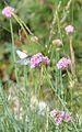 Mt Ventoux - papillon 3.JPG