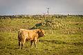 Mullaghmore Cattle County Sligo Ireland 12280068825 o.jpg