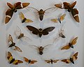 Musée des Alpilles25 cigales asiennes.jpg