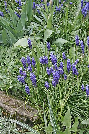 Description de l'image Muscari neglectum.jpg.