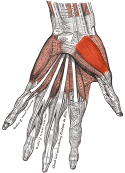 Musculus abductor pollicis brevis.png