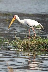 Mycteria ibis -Okavango Delta, Botswana-8