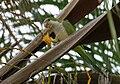 Myiopsitta monachus -USA-8b.jpg