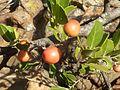 Mystroxylon aethiopicum subsp burkeanum, vrugte, Bronberg, a.jpg