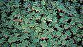 N20141208-0003—Echeveria—Berkeley (16016454525).jpg