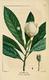 NAS-058 Gordonia lasianthus.png