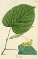 NAS-132 Tilia americana var heterophylla.png