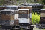 NASA Kennedy Wildlife - Bees swarm around hives.jpg