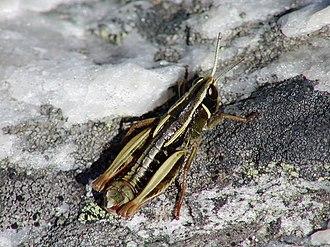 Alpinacris tumidicauda - Image: NZ Acrididae 12
