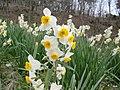 Narcissus in Wokuzure Suisenkyo.jpg