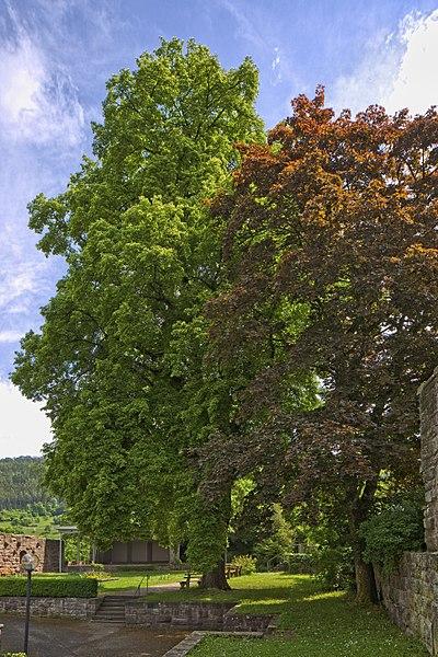 File:Naturdenkmal Zwei Alte Linden, Kennung 82350800009, Schloßruine, Wildberg 10.jpg