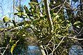 Naturschutzgebiet Haseder Busch - Mistel (3).jpg