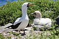 Nazca Booby with chick (47763334581).jpg