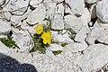 Ncisles papaver alpinum pavé da mont Gherdeina.jpg