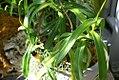 Nepenthes burkei 1zz.jpg