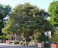 Nesprer del Japó (Eriobotrya japonica), jardí botànic de València.JPG