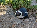 Nesting African Penguin.jpg