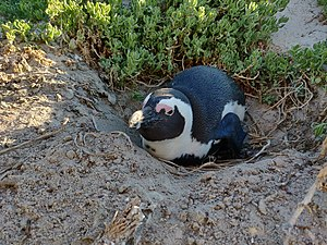 African penguin - Wikipedia